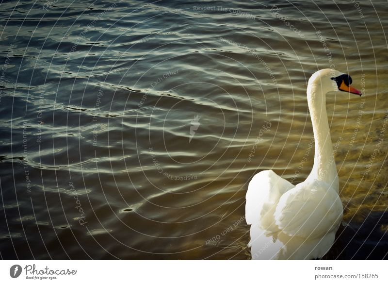 Water Beautiful White Calm Loneliness Lake Bird Elegant Esthetic Feather Delicate Delicious Neck Pond Swan
