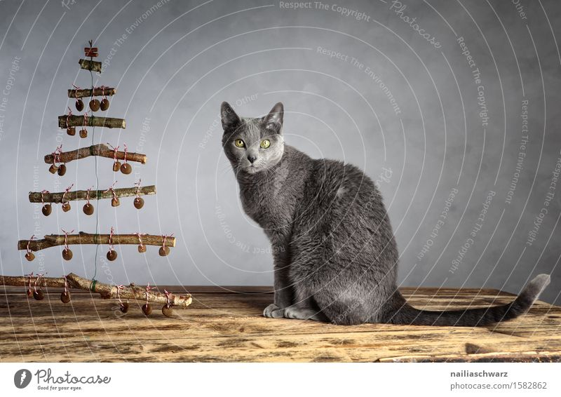 Cat Christmas Pet 1 Animal Wood Observe Crouch Looking Sit Elegant Delicious Funny Curiosity Cute Soft Blue Gray Contentment Love of animals Domestic cat