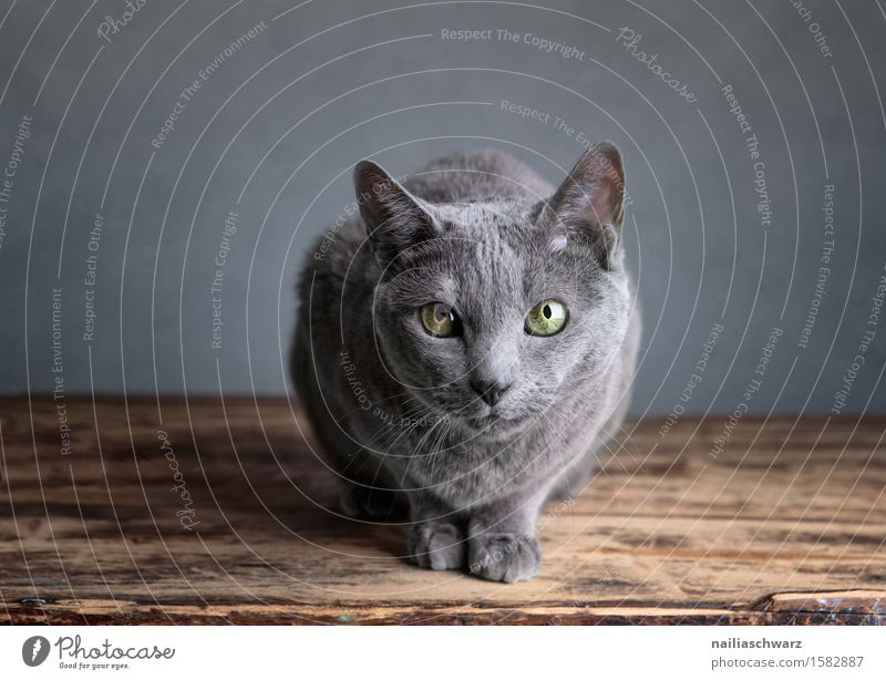 cat portrait Pet Cat 1 Animal Friendliness Cuddly Natural Curiosity Cute Beautiful Soft Blue Gray Love of animals Interest Relaxation Serene Boredom