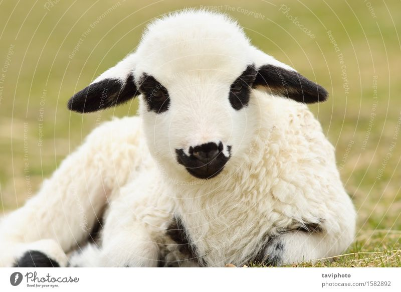 close up of cute white lamb Nature Green Beautiful White Landscape Animal Face Baby animal Spring Meadow Natural Grass Small Baby Cute Pasture