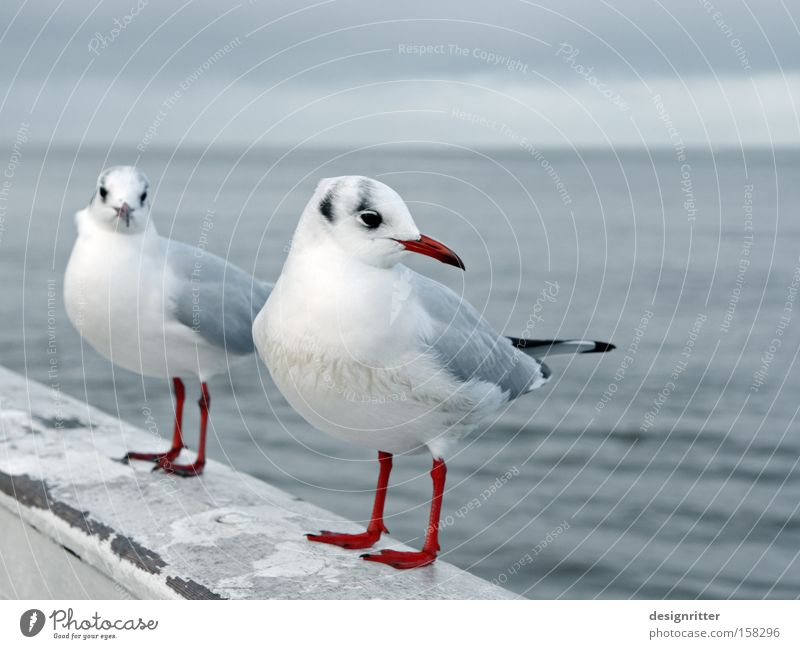 Ocean Love Bird Near Contact Seagull Aggravation Intimacy Animal Insulted Annoying