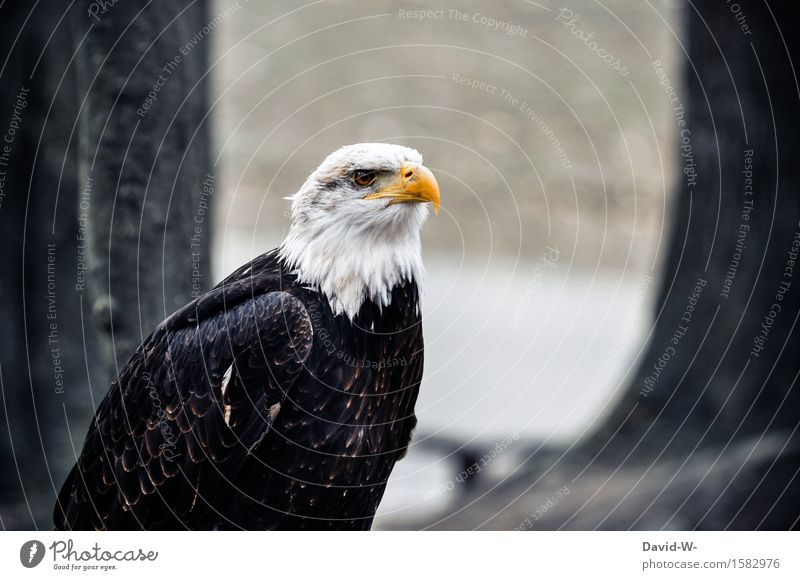 Bald Eagle II Environment Nature Air Spring Autumn Winter Beautiful weather Bad weather Forest Hill Rock Animal Farm animal Wild animal Bird Animal face Wing 1