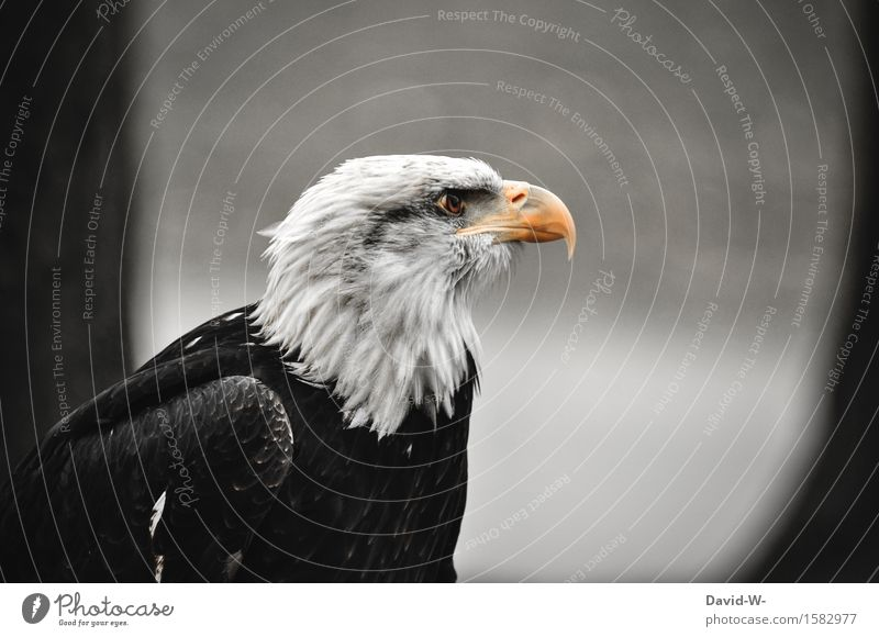 Bald Eagle I Environment Nature Air Bad weather Forest Mountain Peak Animal Wild animal Bird Wing 1 Observe Beautiful Calm Elegant Pride Bald eagle Beak Feather