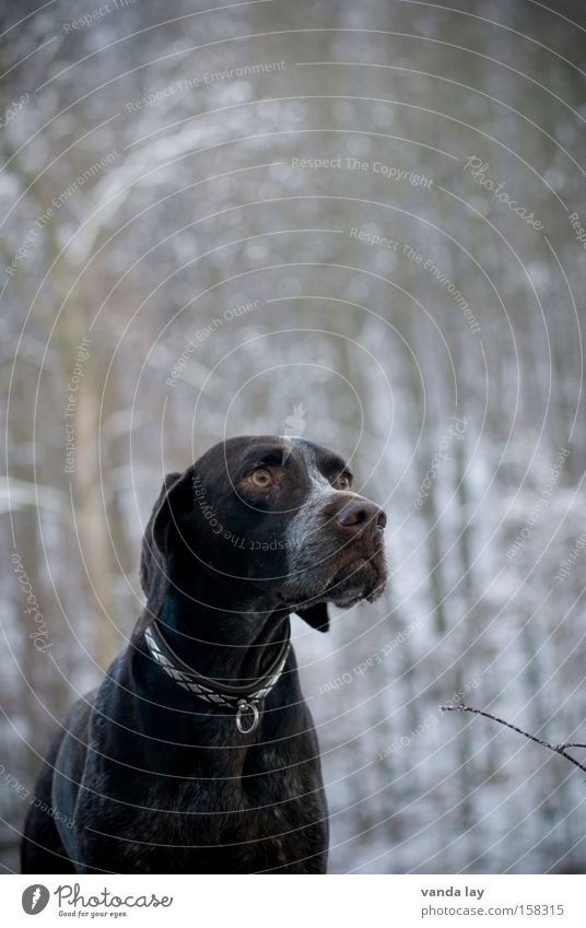 Watered Poodle Winter Dog Animal Neckband Nature Brown Hunter Hound Nose Mammal German Shorthair walk Dog collar