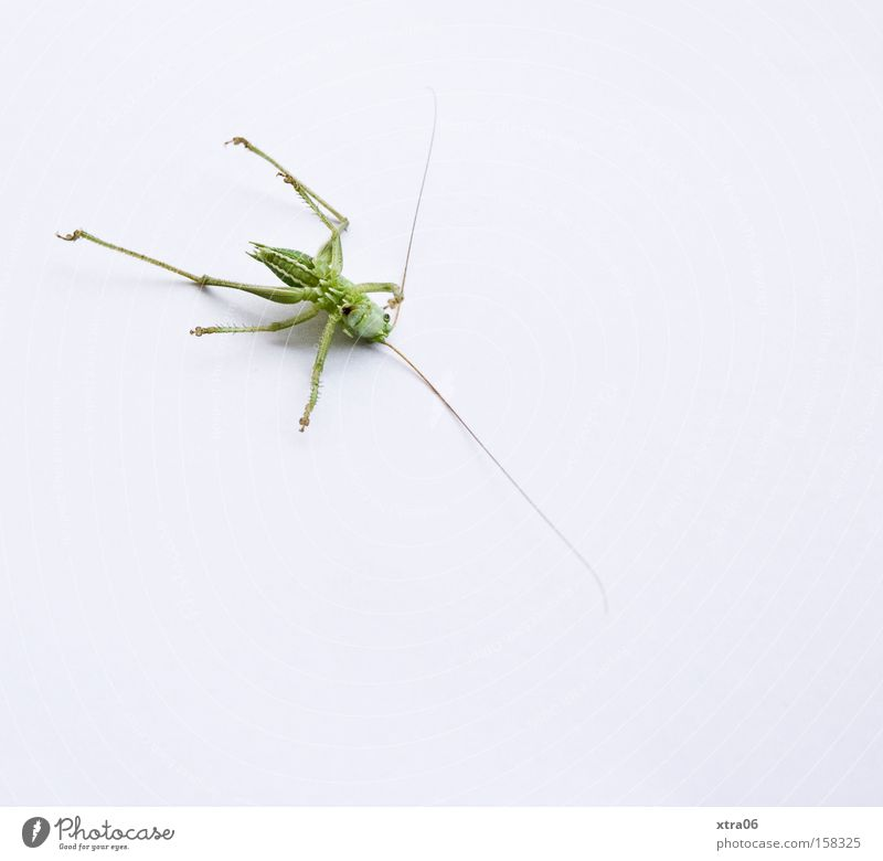 Green Animal Legs Esthetic Authentic Lie Insect Living thing Wild animal Locust Feeler Macro (Extreme close-up) Resign House cricket At the back