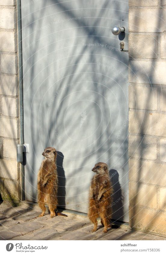 You're not hia ned in! Doorman Safety Security force Entrance Closed Meerkat Mongoose Sunbathing Guard Freiburg im Breisgau Mammal face check guards