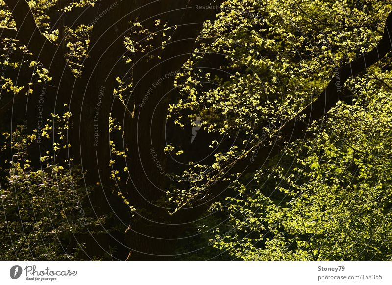 Nature Green Tree Plant Leaf Calm Forest Spring Fresh Illuminate Branch Beautiful weather Tree trunk Treetop Branchage Twigs and branches