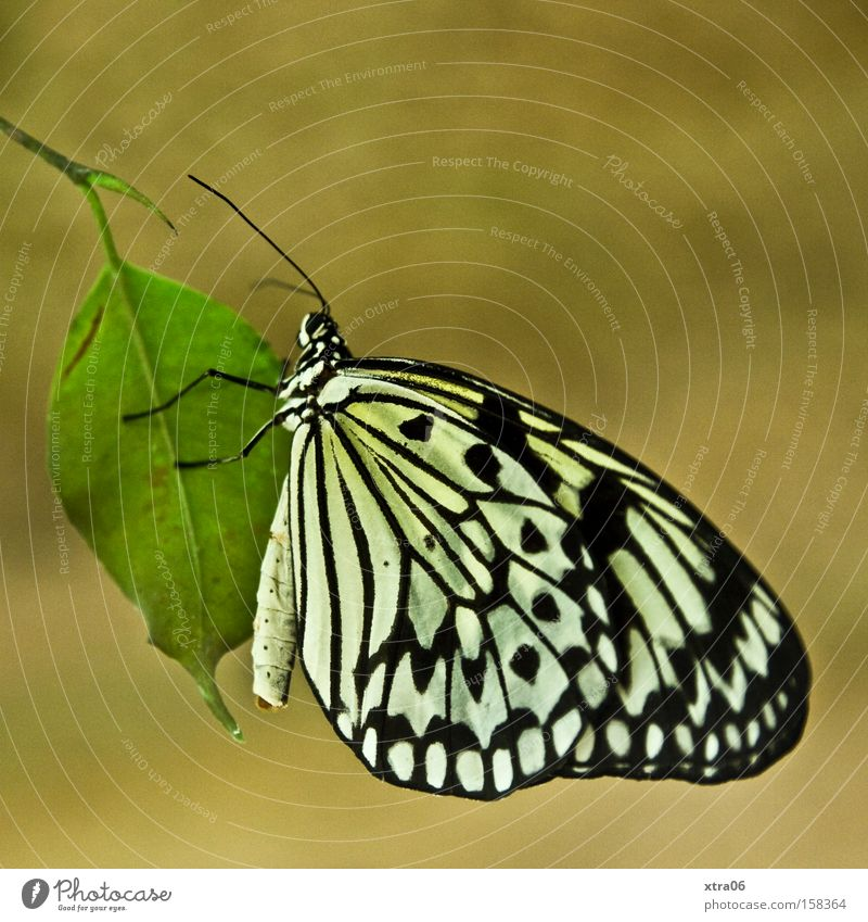 tree-nymph Butterfly Insect Leaf Hover Wing Feeler Delicate keep one's fat