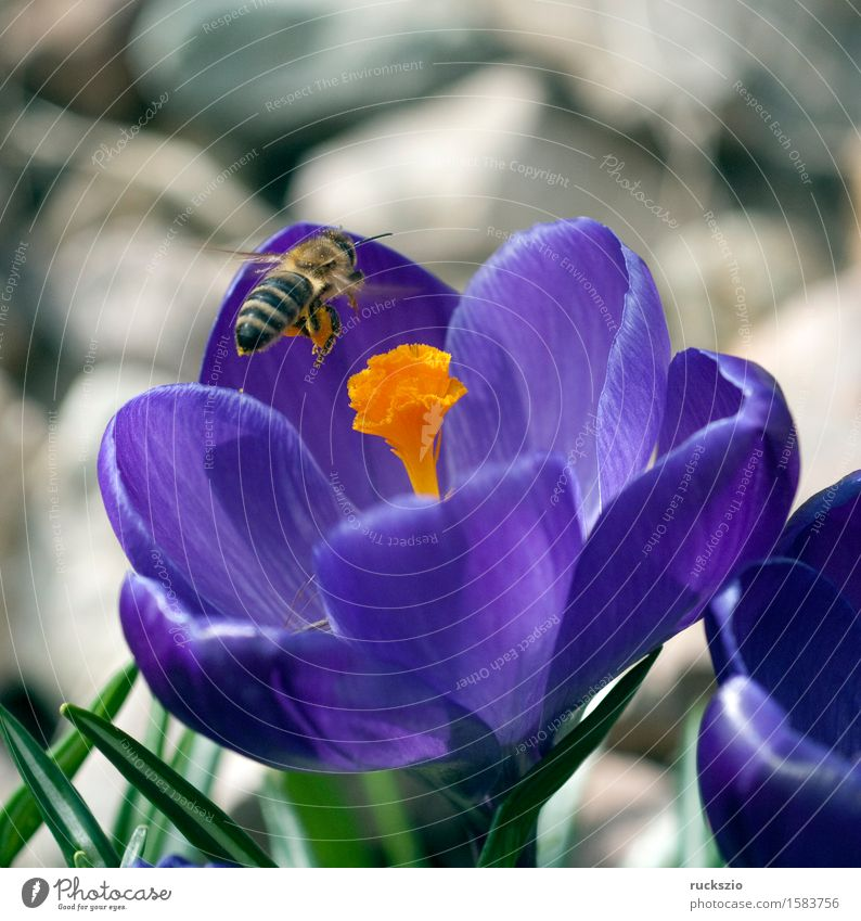 Crocus; Apis; mellifera Nature Spring Flower Pet Bee Jump approach apis Honey bee Insect dusting Pollen Stamen nectar collector more large-flowered bulb flower