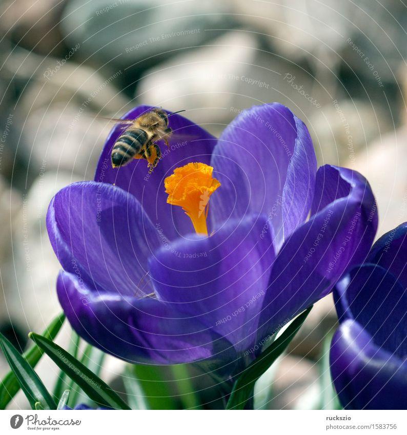 Nature Flower Spring Jump Insect Bee Pet Pollen Crocus Stamen Spring flowering plant Honey bee