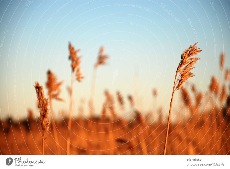 Straws free in the wind Sky Day Field Common Reed Brown Autumn Wind Sky blue Sunlight Helsinki Grass Blade of grass Nature Freedom Landscape Lakeside