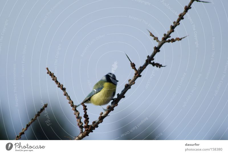 solitary Bird Winter Autumn Loneliness Tit mouse Cold Blue Branch Animal Nature