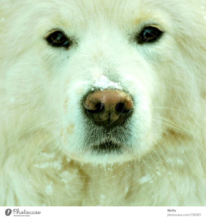 Dog! Snow Pelt White Watchfulness Concentrate Frontal Nose Snout Eyes Direct Flake Mammal Colour photo Animal portrait Front view Looking