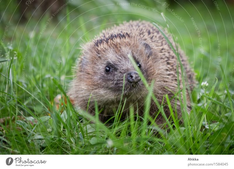 what's going on? Meadow Animal Wild animal Hedgehog 1 Curiosity Cute Brown Green Discover Protection Thorny Small Encounter Button eyes Set of teeth Hideous