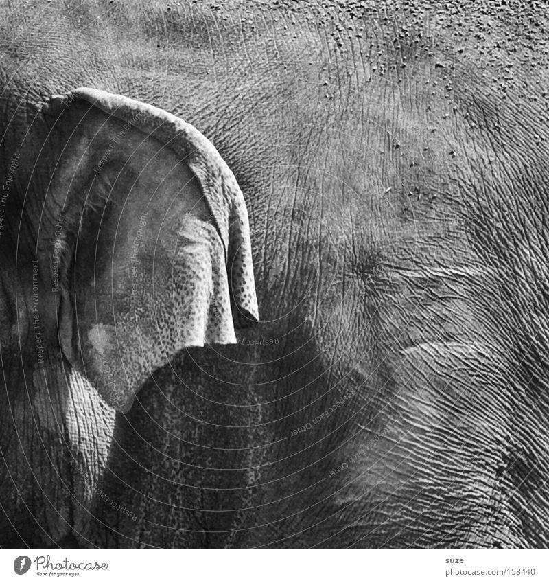 pachyderms Leather Animal Wild animal Elefantears Elephant 1 Listening Near Gray Trust Experience Ear Wrinkles Mammal Indian elephant Elephant skin Hide