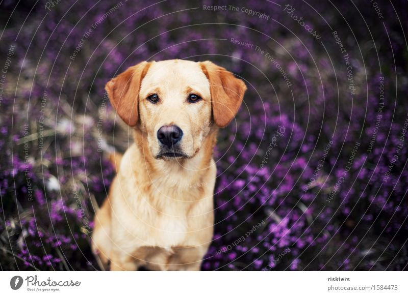 doggie eyes Environment Nature Plant Wild plant Mountain heather Forest Animal Pet Dog Observe Looking Sit Wait Esthetic Blonde Friendliness Beautiful Natural