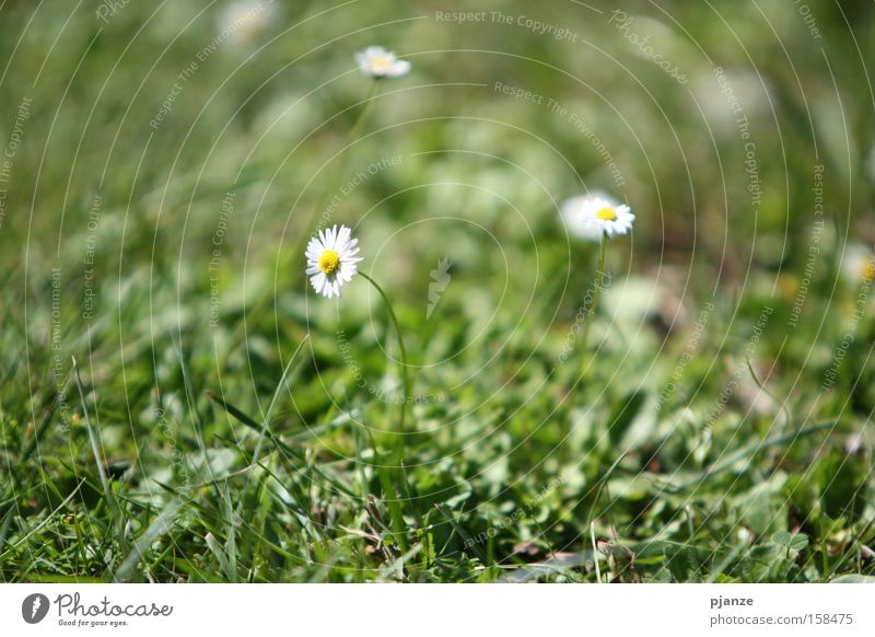 Flower Green Plant Summer Joy Meadow Blossom Grass Blade of grass Daisy Anticipation