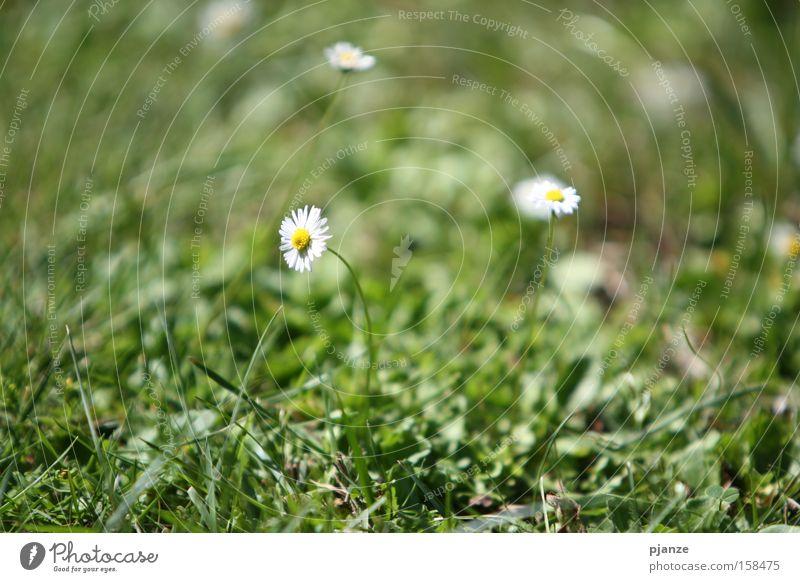 Flower Green Plant Summer Joy Meadow Blossom Grass Blade of grass Daisy Anticipation
