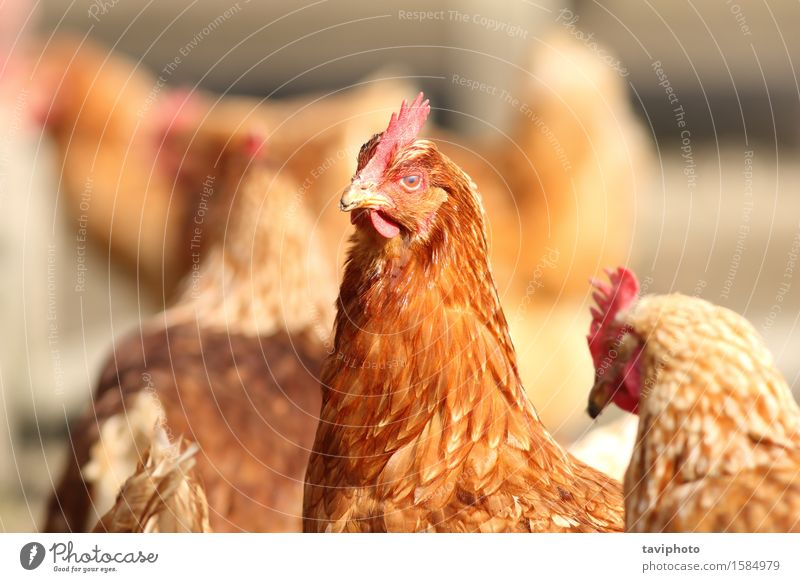 hen close up on farm yard Woman Nature Beautiful Colour Landscape Red Animal Adults Natural Garden Brown Bird Feather Farm Agriculture Meat