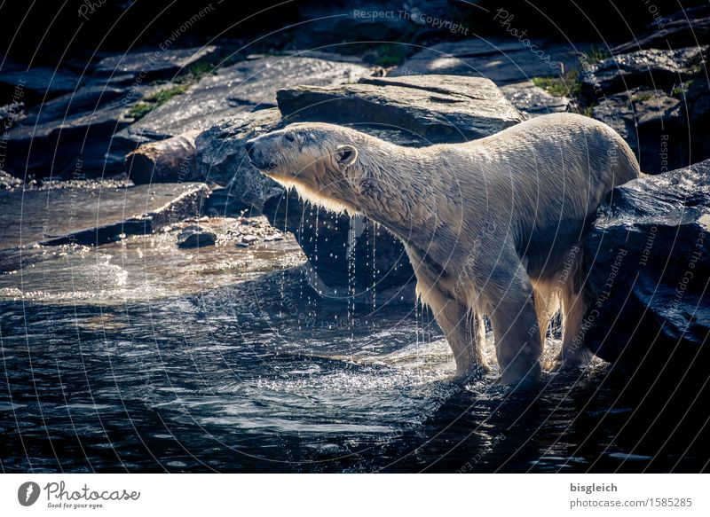 A bath in the morning ... Animal Wild animal Polar Bear 1 Swimming & Bathing Stand Blue Gray Joy Happy Joie de vivre (Vitality) Power Cleanliness Colour photo