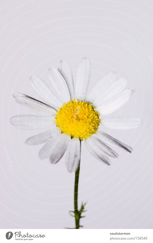 Nature White Flower Yellow Life Spring Fresh New Daisy Stick Chamomile Medicinal plant Weed
