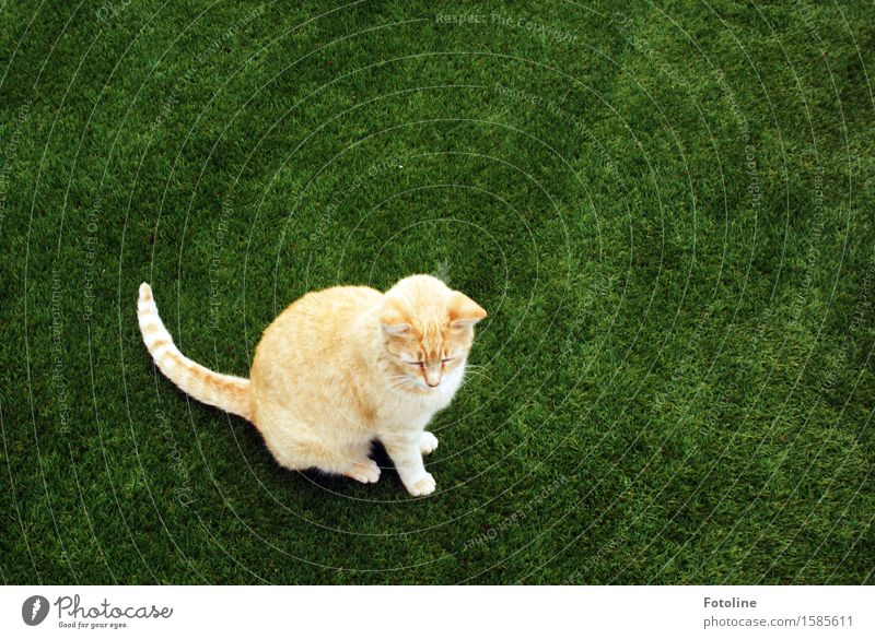 Cat on green Environment Nature Plant Animal Grass Meadow Pet Pelt 1 Free Near Natural Beautiful Green Orange Sit Artificial lawn Colour photo Multicoloured