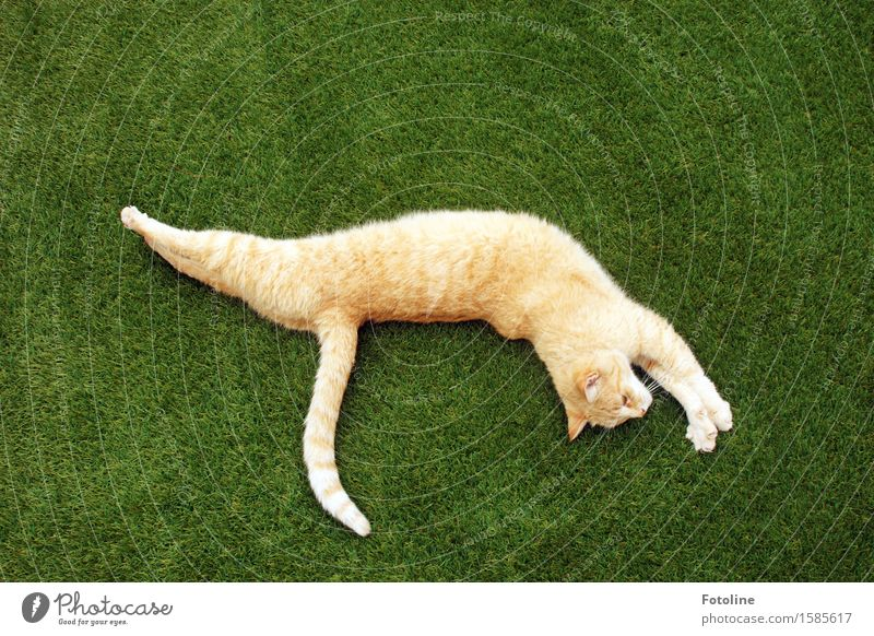 Streeeeeeeck dich!!! Environment Nature Plant Animal Grass Garden Park Meadow Pet Cat Pelt 1 Free Bright Beautiful Natural Green Orange Lie Stretching Long