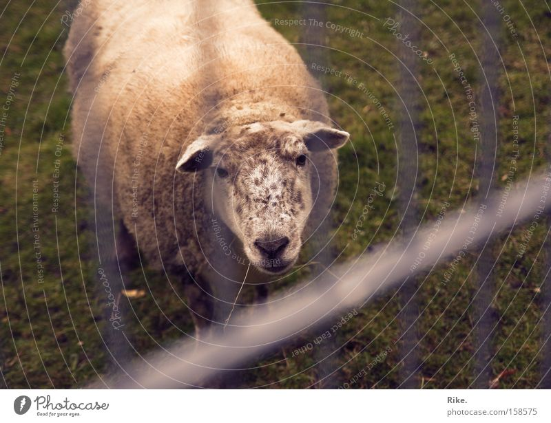 Nature Animal Loneliness Sadness Poverty Grief Lawn Sheep Americas Distress Mammal Captured Penitentiary Wool Lamb Needy