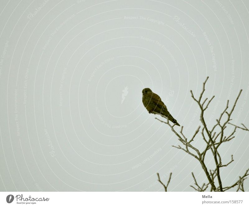 The patience of the falcon Relaxation Tree Bird Crouch Sit Wait Break Falcon Kestrel Treetop Branch Twig Branchage Bird of prey Colour photo Subdued colour
