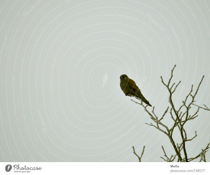 Tree Relaxation Bird Wait Sit Break Branch Treetop Twig Branchage Crouch Falcon Bird of prey Kestrel