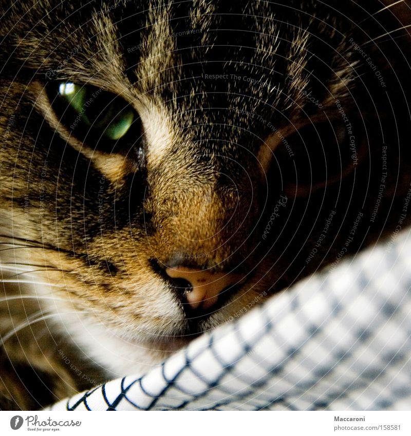 Cat Green Relaxation Animal Eyes To enjoy Sweet Nose Pelt Hunting Pet Mammal Checkered Cuddly Senses Cuddling