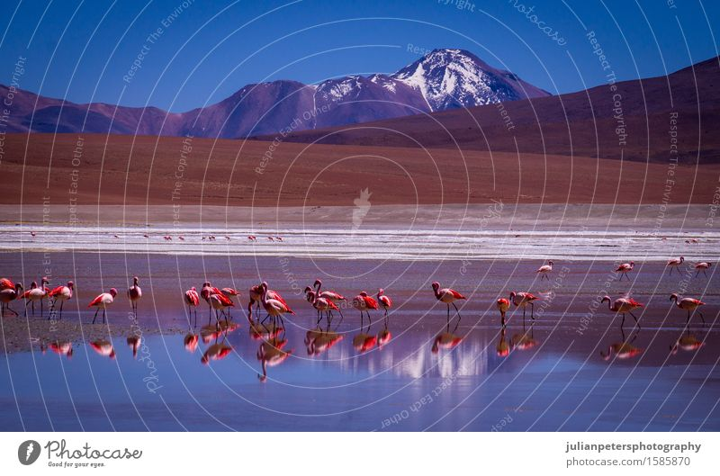 Laguna Kara lagoon with flamingos and reflection of a mountain Nature Vacation & Travel Blue Colour White Landscape Red Animal Mountain Group Lake Bird Pink