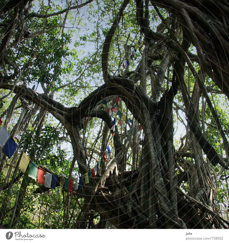 holy tree Tree India Holy Hippie Virgin forest Old Massive Prayer flags Peace banyan tree aerial roots reservoir Nature ficus benghalensis Bengali fig