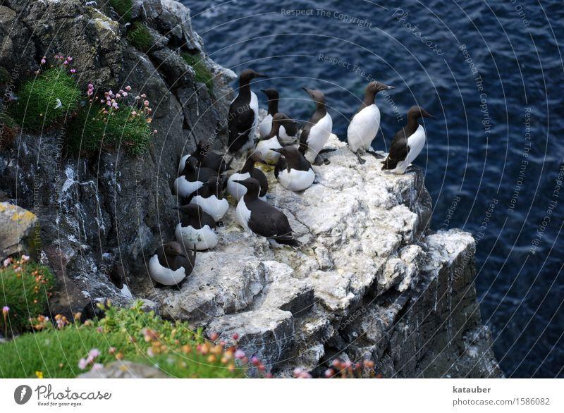 guillemots Landscape Animal Water Summer Rock Waves Coast Ocean Island Scotland Western islands lunga Wild animal Bird Common murre Sea bird Group of animals