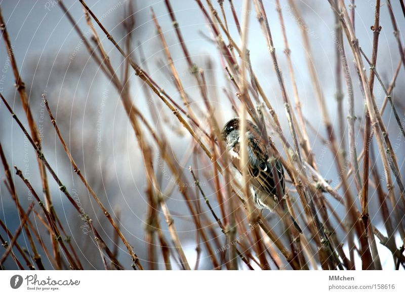 Winter Cold Garden Park Bird Bushes Feather Branch Hide Hiding place Sparrow Camouflage Decent