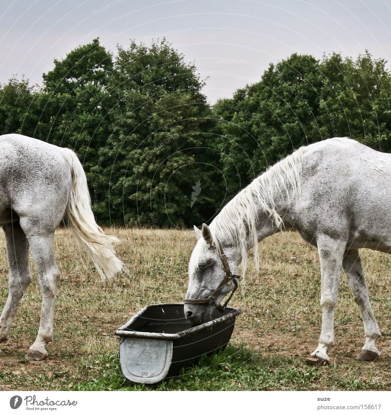 Sky Nature White Tree Animal Environment Meadow Funny Head Field In pairs Bushes Beautiful weather Horse Drinking Hind quarters