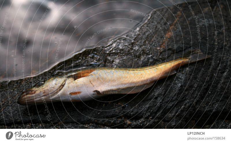 Water Ocean Animal Stone Rock Fish Fishing (Angle) Captured Norway Scandinavia Spoon bait Unconscious