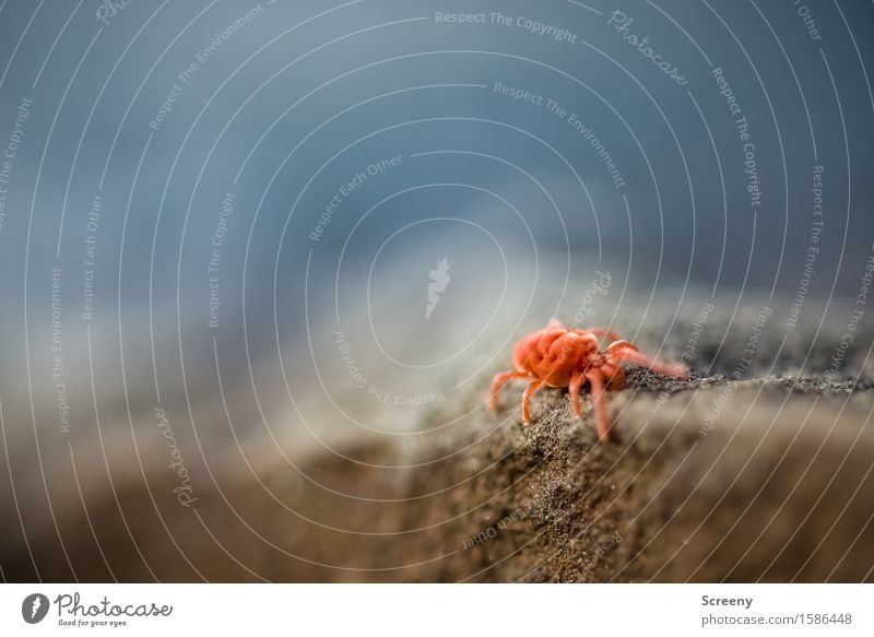 On the wall, on the lookout... Nature Animal Rock Mite Insect 1 Crawl Small Red velvet mite Velvety Stone Colour photo Exterior shot Macro (Extreme close-up)
