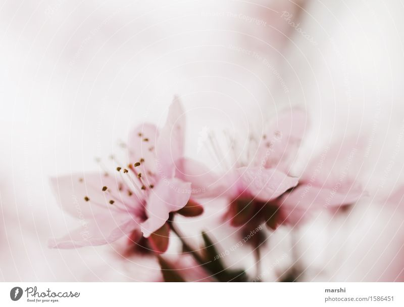Nature Plant Tree Flower Leaf Blossom Spring Garden Moody Pink Blossoming Delicate Fragrance Bud Wild plant Cherry blossom