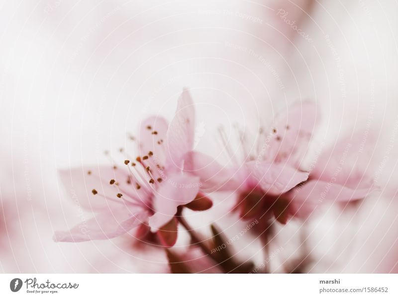 blossom Environment Nature Plant Spring Summer Tree Leaf Blossom Wild plant Garden Moody Pink Delicate Blossoming Green pastures Cherry Cherry blossom