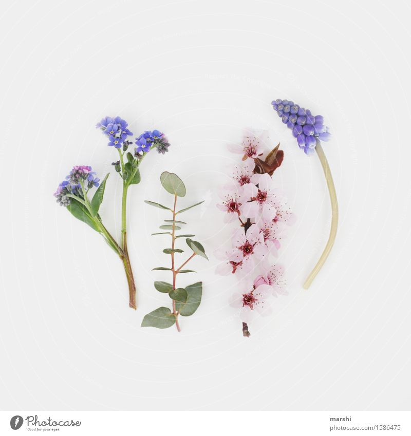 Spring flowering plants III Nature Plant Summer Flower Bushes Leaf Blossom Foliage plant Moody Eucalyptus tree Forget-me-not Muscari blood plum Cherry blossom