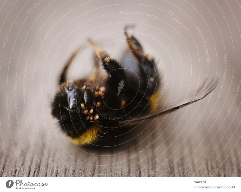 bumblebee life Nature Animal Wild animal Dead animal 1 Moody Decay Bumble bee Spin Disgust Wing Insect Colour photo Exterior shot Close-up Detail
