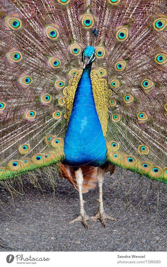 Blue Beautiful Animal Bird Glittering Esthetic Feather Zoo Presentation Love of animals Peacock Rutting season
