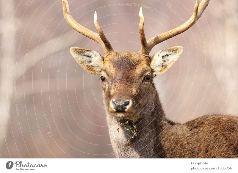 portrait of a fallow deer stag Beautiful Face Hunting Man Adults Nature Animal Park Forest Fur coat Large Natural Wild Brown Deer Fallow land dama Mammal