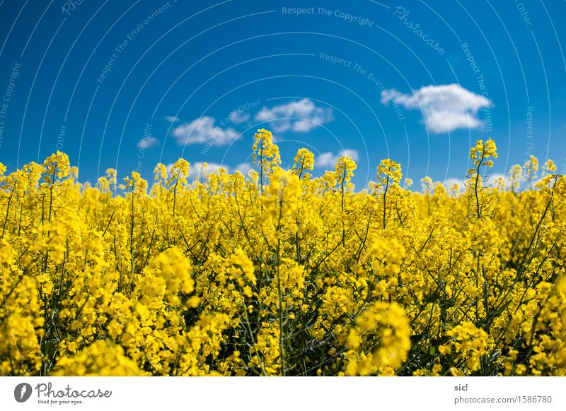 rapsfeld Environment Nature Landscape Plant Sky Clouds Spring Beautiful weather Blossom Agricultural crop Canola Canola field Field Fragrance Bright
