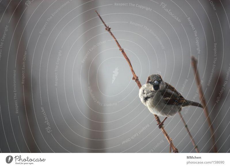 Shall we chirp? Bird Sparrow Branch Bushes Beak Vantage point Relaxation Break Resting place Winter Bleak Chirping Garden Park puffed up eyeball to eyeball