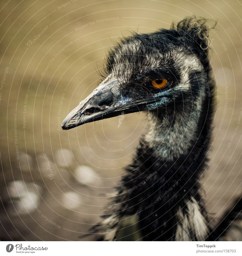 Beautiful Bird Feather Zoo Evil Beak Australia Hideous Animal Berlin zoo Emu Flightless bird