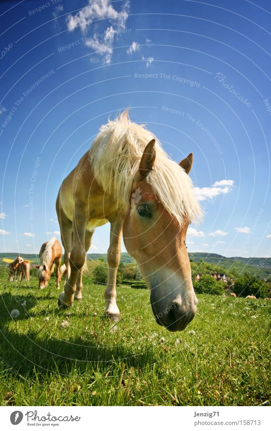 Bess're times. Haflinger Horse Ride Pasture Meadow Herd Sky Mammal Summer paddocks