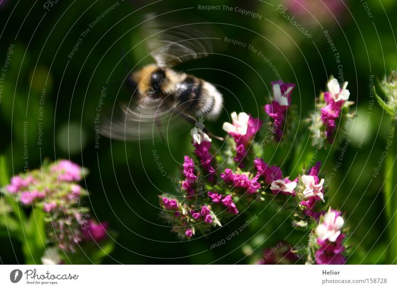 bumblebee dance Bumble bee Pink White Green Yellow Insect Beginning Summer Dynamics Blossom Joy Diligent Flower Wonder Surprise Flying Aviation