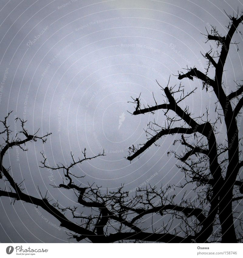crown Tree Treetop Branch Twig Branchage Trimmed Sky Gray Silhouette Bleak Winter Covered Dreary